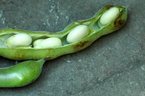 Fava beans from CSA