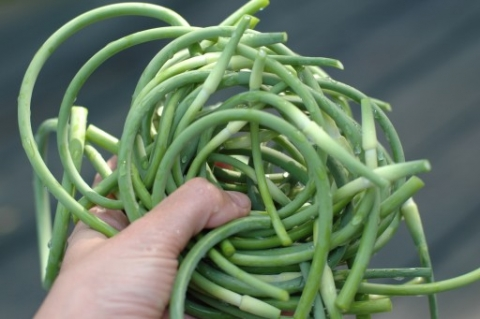 garlic scapes in hand