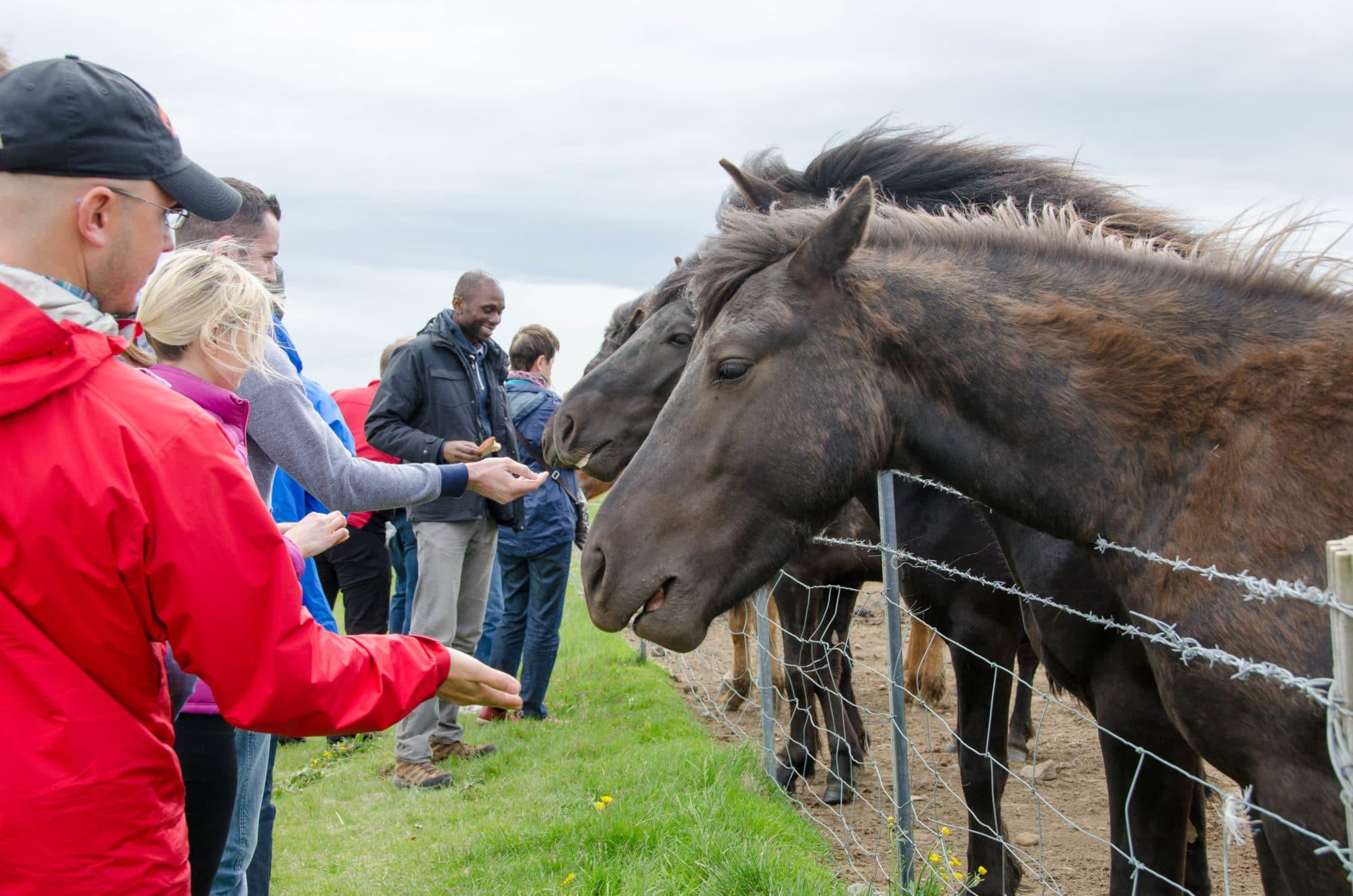 Feeding Wild Horses Iceland | Umami Girl