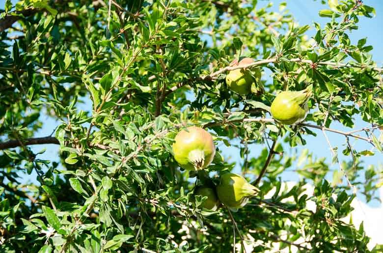 Oia Santorini Greece Pomegranate Tree 780 | Umami Girl