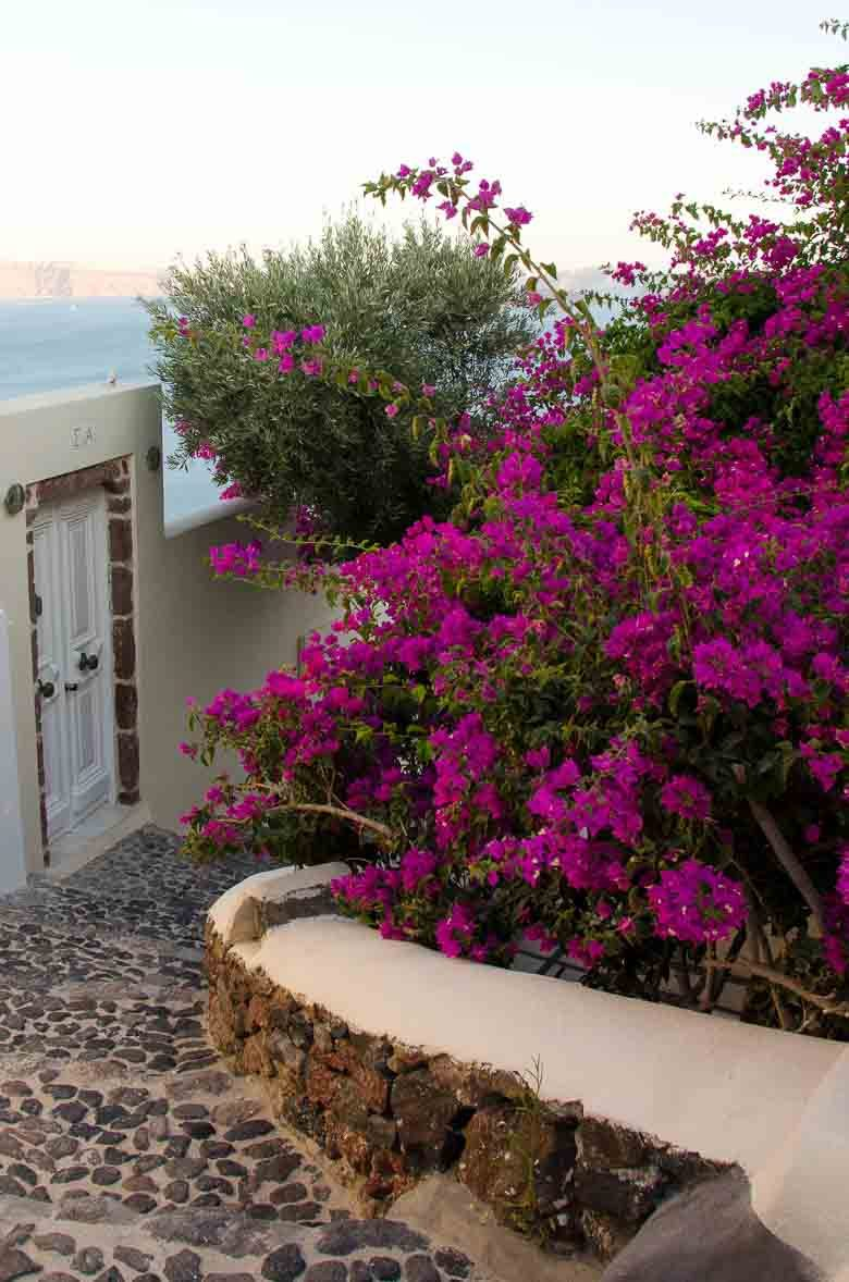 Oia Village Santorini Greece Purple Flowers 780 | Umami Girl