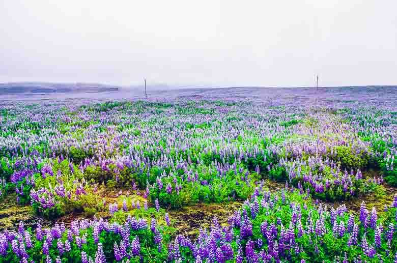 Field of Lupines Iceland South Coast Golden Circle 780 | Umami Girl