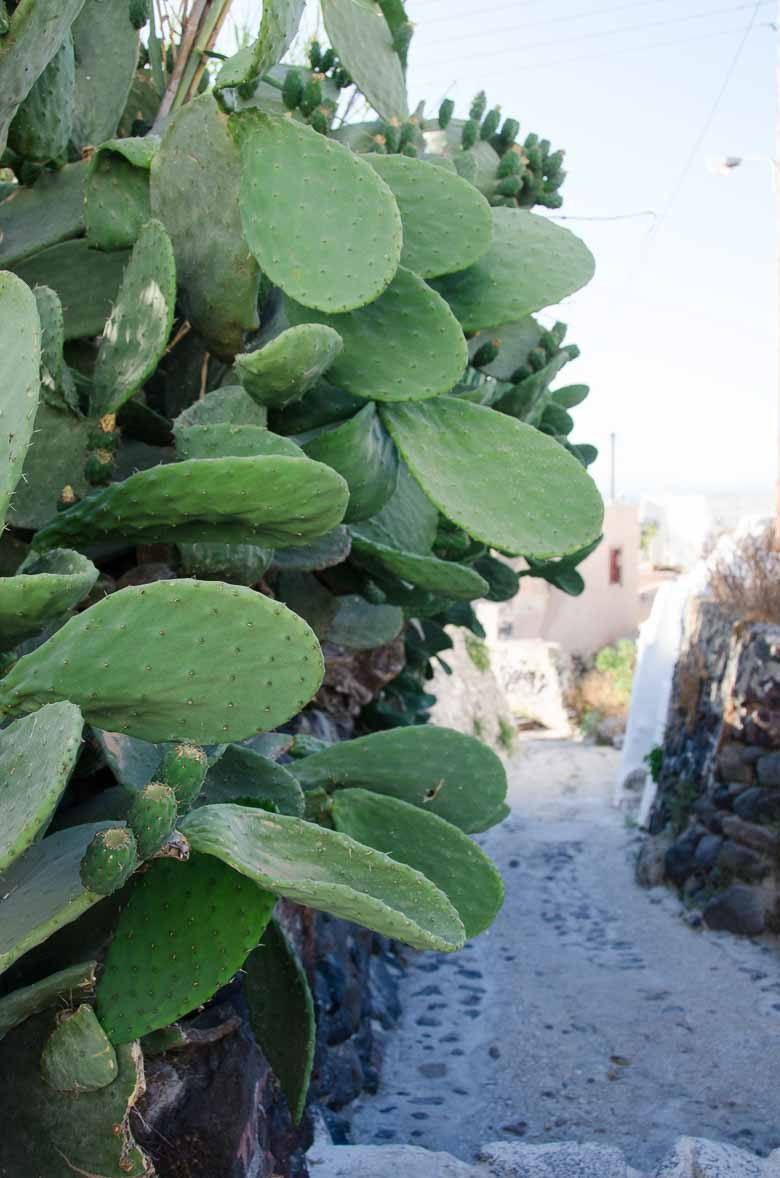 Oia Santorini Greece Succulents 780 | Umami Girl